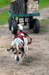 PIC_weight-pull_Beagle_03-08